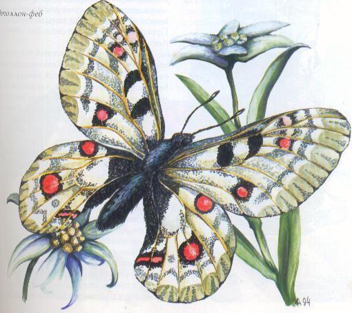 Очень редкая бабочка апполон